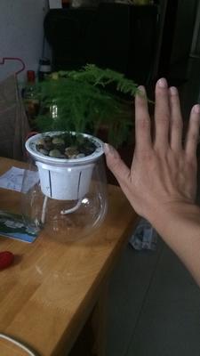 这是一张关于河口菠萝 1.5 - 2斤的产品图片