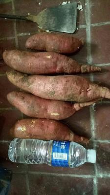 这是一张关于秦薯五号 红皮 混装通货的产品图片