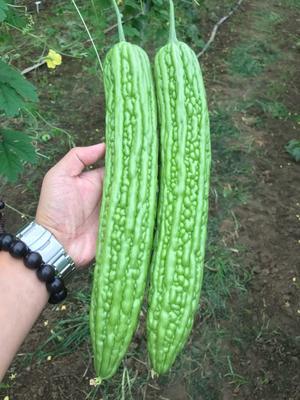 山东省潍坊市寿光市绿苦瓜种子 袋装
