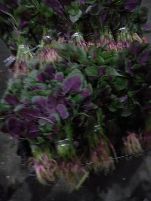 安徽省铜陵市郊区红苋菜 15-20cm 紫红