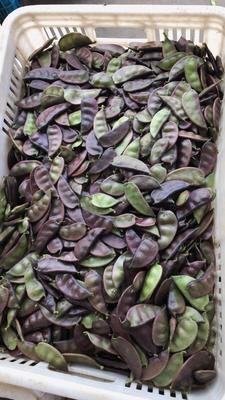 江苏省盐城市东台市紫扁豆 2cm以上 10cm以下