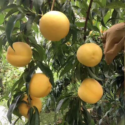 山东省威海市文登区黄油桃 3两以上 55mm以上