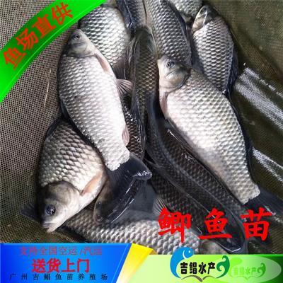 广东省广州市花都区中科三号鲫鱼 人工养殖 0.05公斤