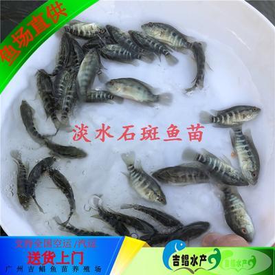 广东省广州市花都区淡水石斑 人工殖养 0.5公斤以下