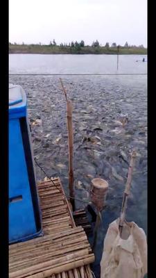 河南省商丘市永城市池塘鲤鱼 人工养殖 1-1.5公斤