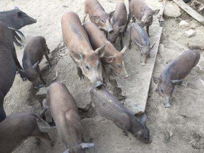 河北省保定市望都县特种野猪 100斤以上 统货