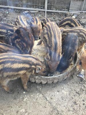 河北省保定市望都县特种野猪 20-30斤 统货