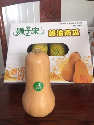 山东省潍坊市寿光市奶油南瓜 1~2斤 长条形