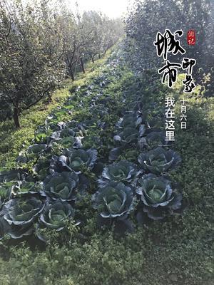 四川省凉山彝族自治州盐源县莲花白包菜 1.5~2.0斤