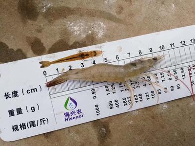 四川省成都市都江堰市南美白对虾 人工殖养 2钱以下