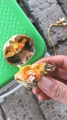 固城湖大闸蟹 2.0-2.5两 母蟹