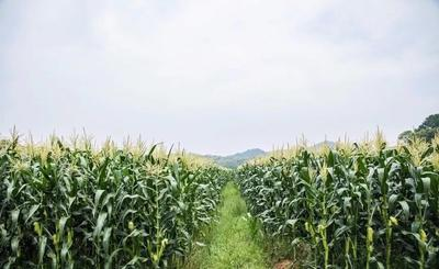 河北省邯郸市邯山区水果玉米 黄粒 鲜货