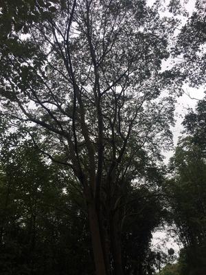 四川省宜宾市高县丛生朴树