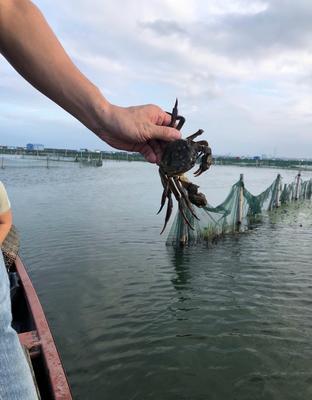 江苏省泰州市兴化市兴化螃蟹 2.0-2.5两 母蟹