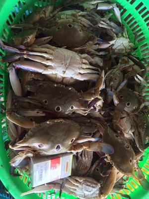 广东省茂名市电白区三点蟹 4.0两以上 统货