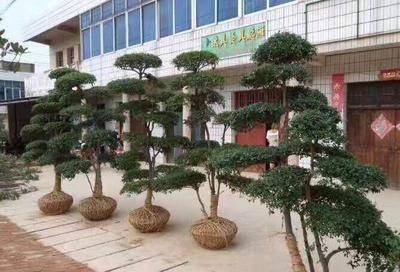 河南省信阳市潢川县小叶女贞造型树