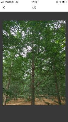 江苏省徐州市铜山区银杏实生树