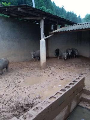 广西壮族自治区梧州市藤县生态野猪 20-30斤 统货