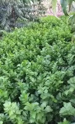 河北省衡水市饶阳县香芹 60cm以上 露天种植 0.5~1.0斤
