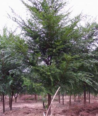 重庆江津区南方红豆杉 1.5~2米