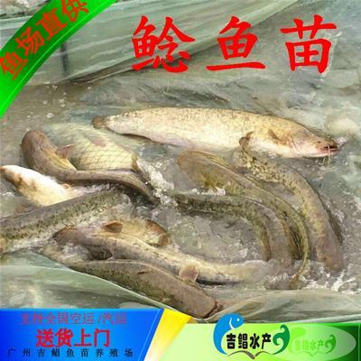 广东省广州市花都区大口鲶鱼 人工养殖 0.5公斤以下