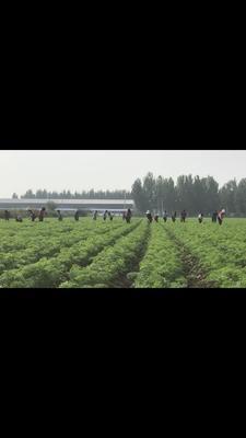 河北省保定市定兴县三红胡萝卜 10~15cm 2两以上 3~4cm