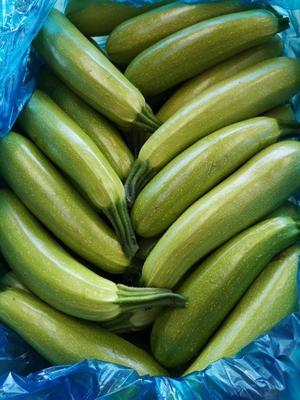 山西省晋中市太谷县绿皮西葫芦 0.8~1斤