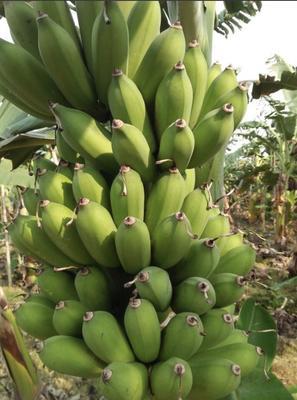 湖南省长沙市芙蓉区米蕉 七成熟 40 - 50斤
