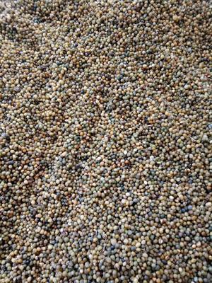 黄精种子 95%以上