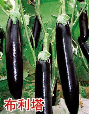 辽宁省鞍山市台安县布利塔长茄 4两以上