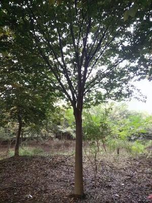 江苏省南京市六合区大叶榉树