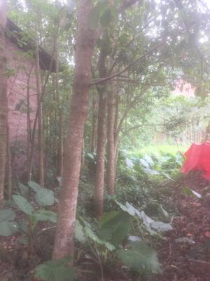 广西壮族自治区玉林市北流市重阳木
