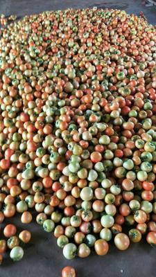 山东省潍坊市寿光市齐达利西红柿 不打冷 大红 弧三以上