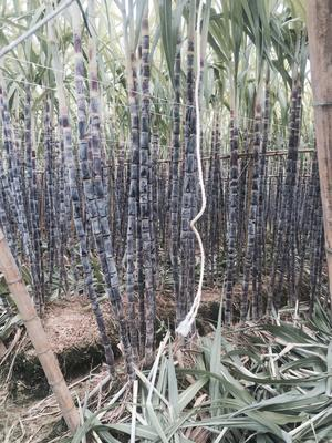 广东省清远市英德市黑皮甘蔗 2.5 - 3m 6 - 8cm