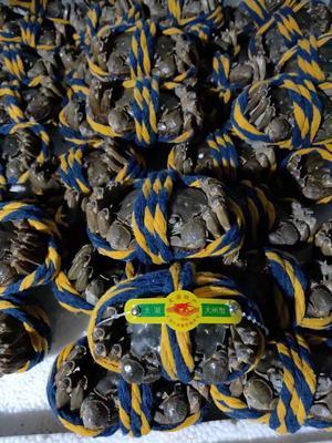 广东省佛山市南海区太湖河蟹 2.0-2.5两 母蟹
