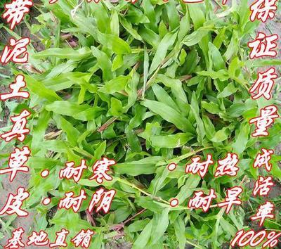 广西壮族自治区南宁市江南区大叶油草