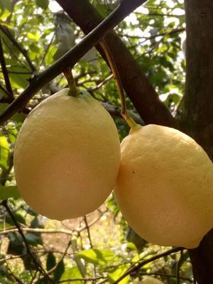 重庆万州区尤力克柠檬 2.7 - 3.2两