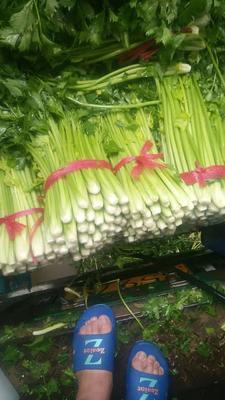 陕西省西安市临潼区西芹 55~60cm 露天种植 0.5~1.0斤