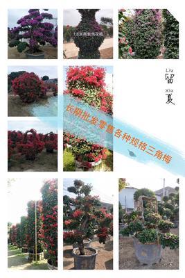 福建省漳州市龙海市紫红三角梅 3~4米