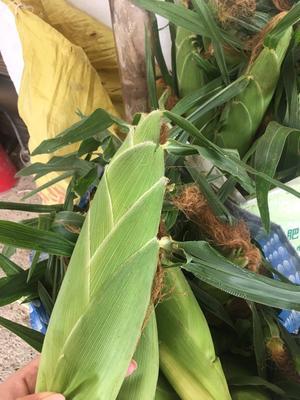这是一张关于水果玉米 黄粒 鲜货的产品图片