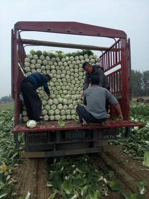 湖北省荆门市沙洋县黄心大白菜 3~6斤 净菜