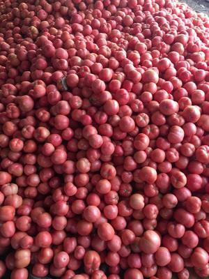 河北省沧州市肃宁县硬粉番茄 不打冷 硬粉 通货