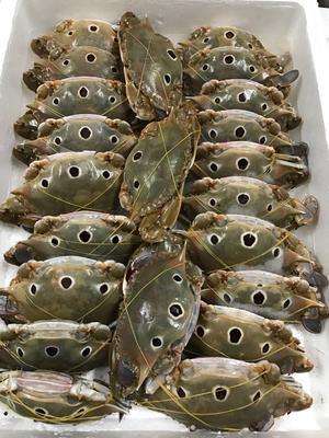 这是一张关于面包蟹 2.0两以下 母蟹 的产品图片