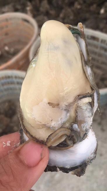 湛江牡蛎 人工殖养 2-3两/只