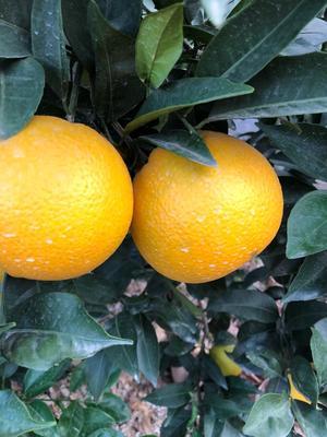 这是一张关于奉节草堂脐橙 70-75mm 4-8两的产品图片