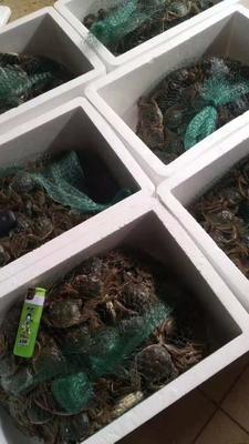 广东省佛山市南海区固城湖河蟹 0.4两 母蟹