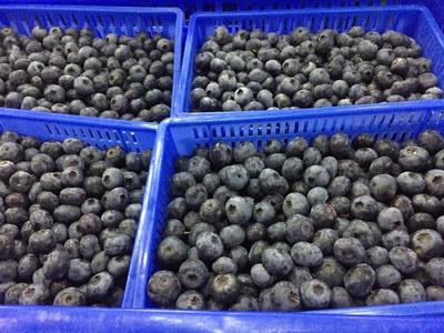 山东省日照市东港区蓝丰蓝莓 鲜果 15mm以上