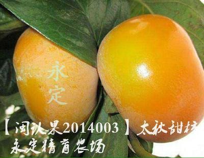 这是一张关于脆柿苗的产品图片