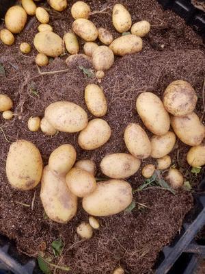 河北省张家口市张北县V7土豆种子 原原种