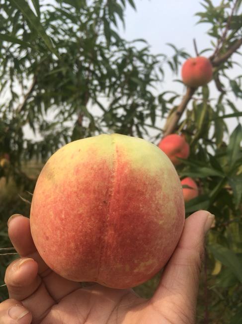 映霜红蜜桃 80mm以上 4两以上